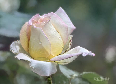 The life of a rose