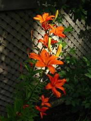 Backyard Flowers 1