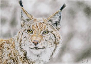 Lynx - Colored pencil