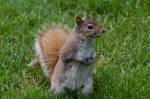 Squirrel Stock 11