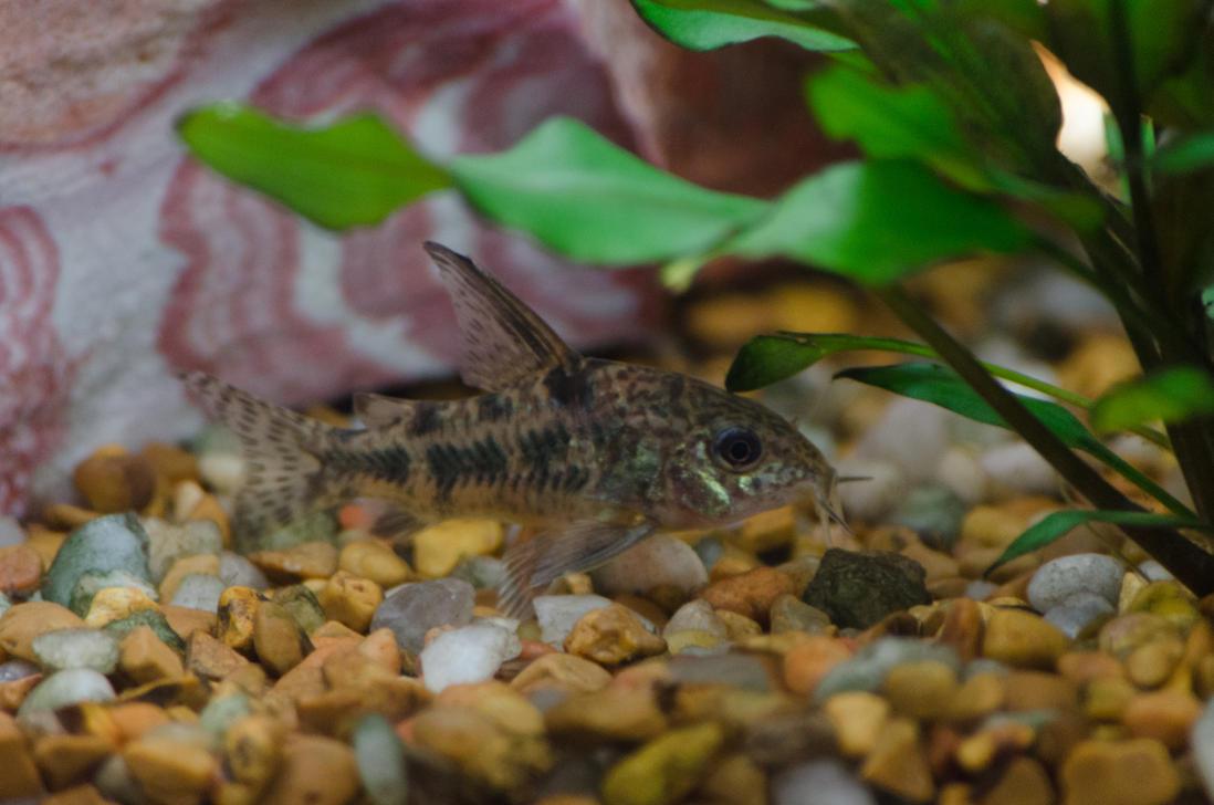 Peppered Cory Catfish Peppered cory catfish stock