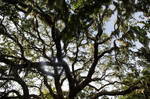 Tree with Spanish Moss(stock)4August 21, 2013