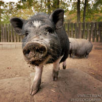Pot-bellied pig by cinnabarr