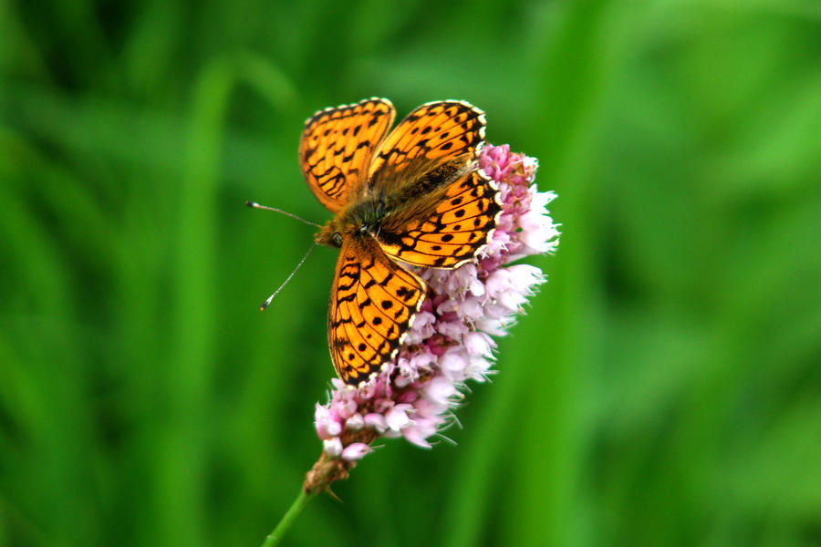 butterfly by kasia84