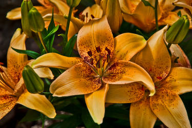 Tango-4-you Asiatic Lily by quintmckown