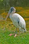 Wood Stork by quintmckown