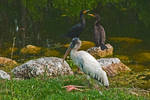 Wood Stork and Cormorants by quintmckown