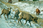 Rocky Mountain Bighorn Sheep by quintmckown
