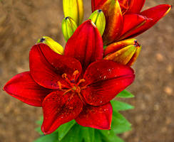 Asiatic Lily in Red by quintmckown