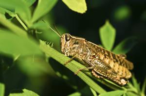 Locust II by waldemarski