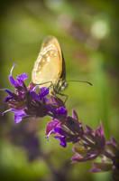 Orange Butterfly by waldemarski