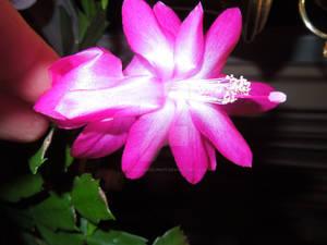 Overlit Cactus Bloom
