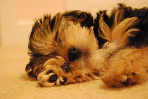 Puppy by inevitable-stockfoto