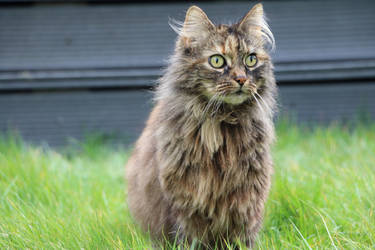 Longhaired cat staring in the distance by 3rdLetter