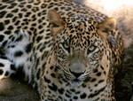 Panthera pardus II