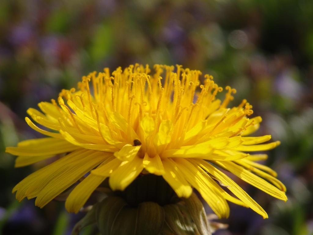 Dandelion by tinuvielluthien