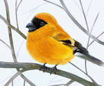 yellow bullfinch