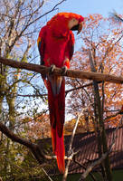 Scarlet Macaw by Rhabwar-Troll-stock