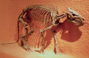 Oreodont stock by Rhabwar-Troll-stock
