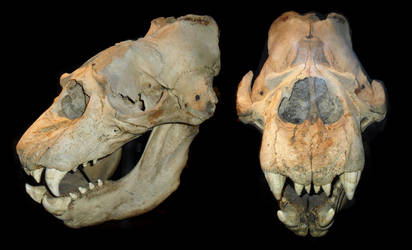Elephant Seal skull stock