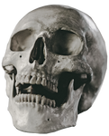 Wistful Human Skull Stock