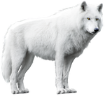 White Wolf Isolated Stock