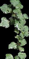 ivy cirrus