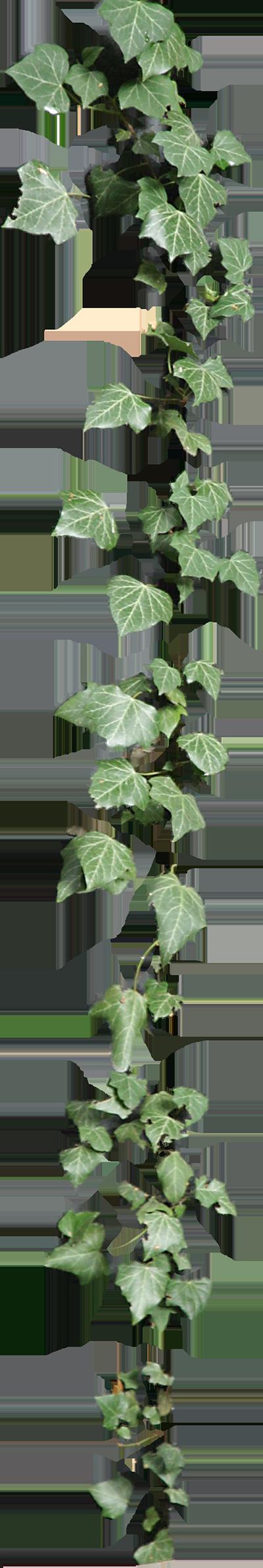 Ivy Cirrus By Lilifilane On Deviantart