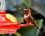 Hungry Hungry Hummingbird