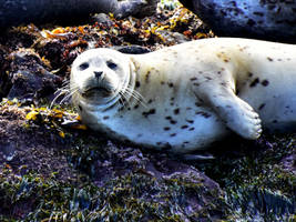 Female Harbor Seal