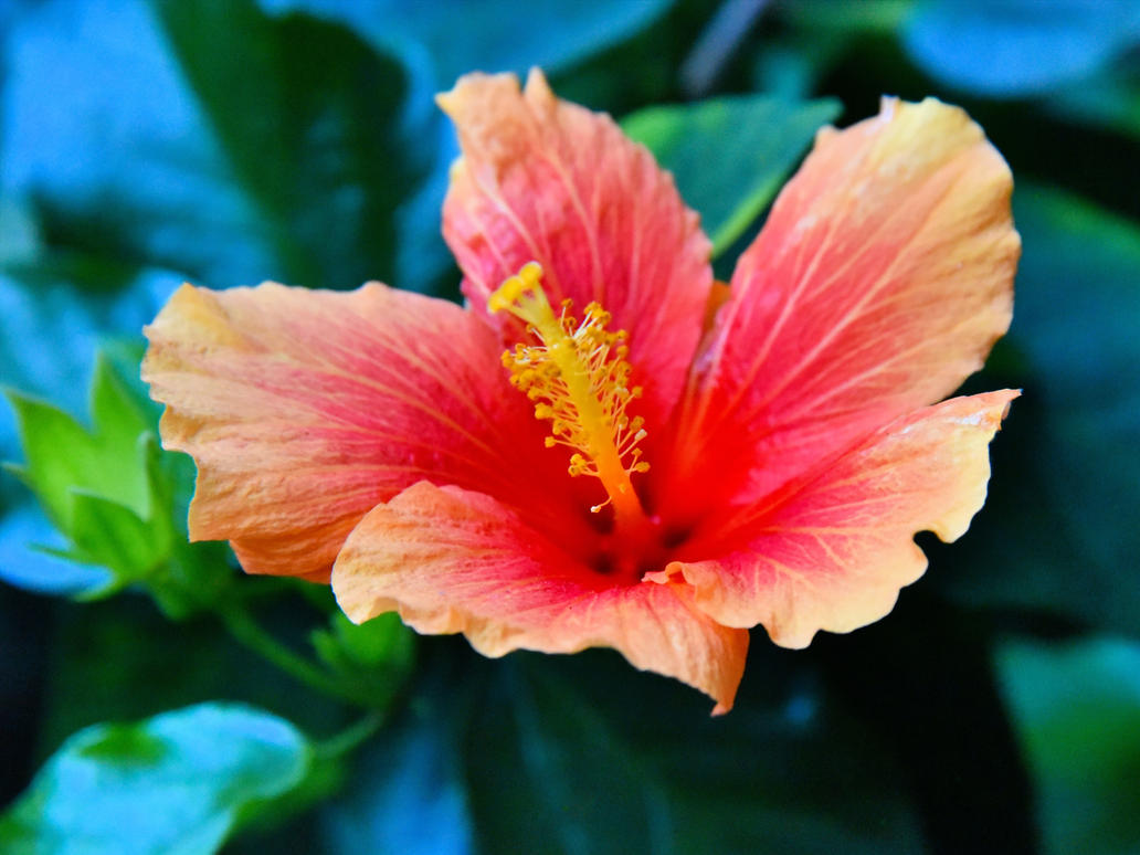 Newly Arrived Hibiscus by MotorCrazy