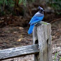 Yosemite Blue Jay