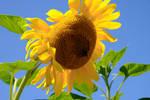 Sunflower by MotorCrazy