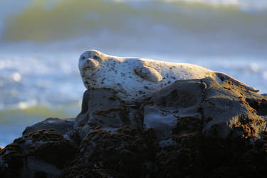 Basking Harbor Seal