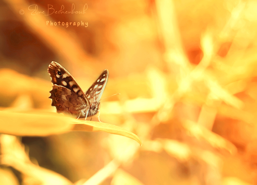 Golden Butterfly by xOronar