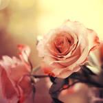 Bright Rose by xOronar