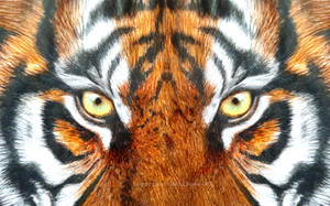 Eyes of the Tiger - Colored Pencils