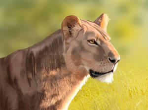 Lioness study sketch