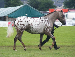 appaloosa by suuslovertje