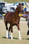 Sabino Arabian stallion