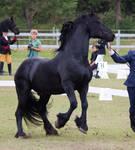 Friesian Stallion Rearing