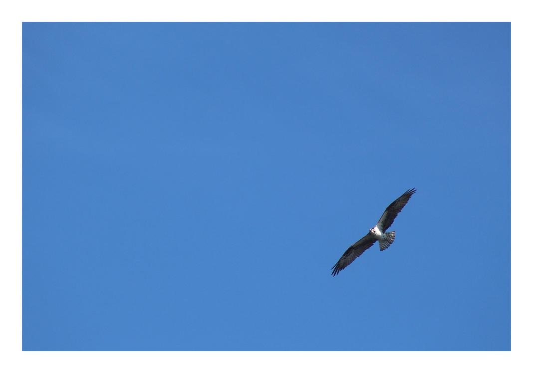 Osprey Flight by bensinn