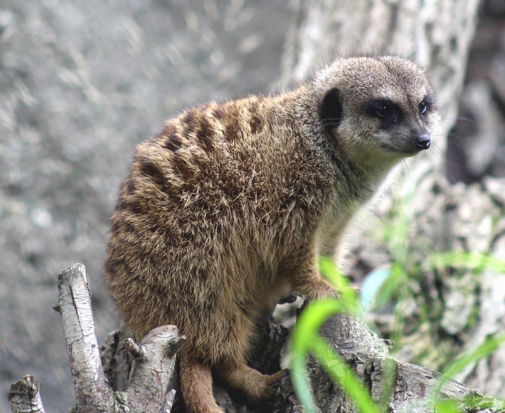Meerkat by bensinn