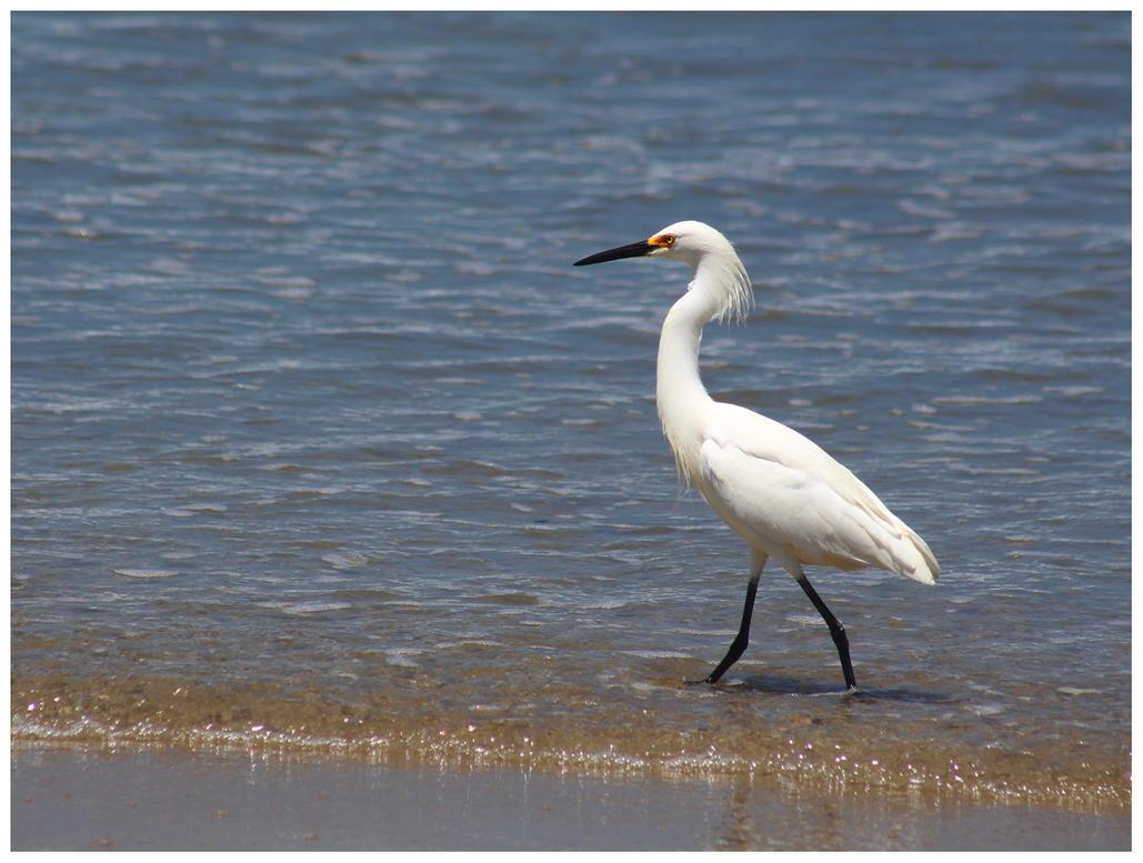 Snowy Egret by bensinn