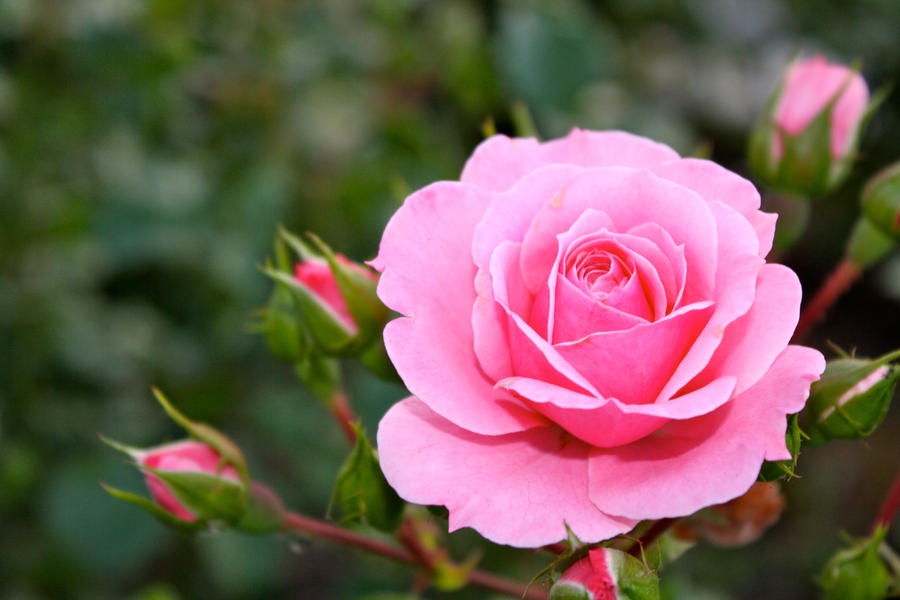 Images Of Roses honey bunches of roses by