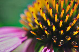 Echinacea by Dark-Slytherin