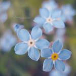 Forget Me Not III by DorotejaC
