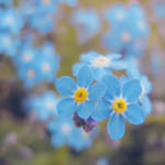 Forget Me Not IV