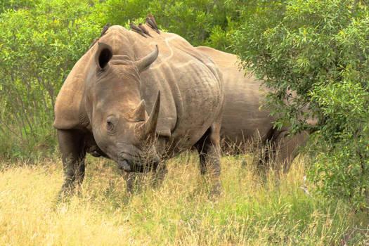 Rhino@Kuger National  Park SA by hdfilmnoir