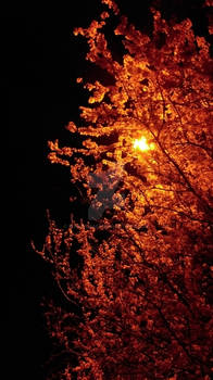 blossoms at night..